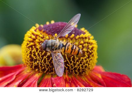Hover fly sitting on flower