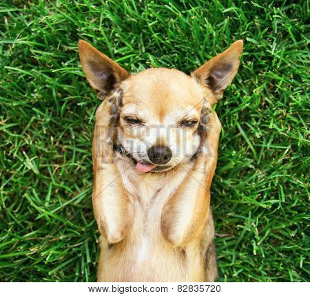 a cute chihuahua with his paws on his head covering his ears