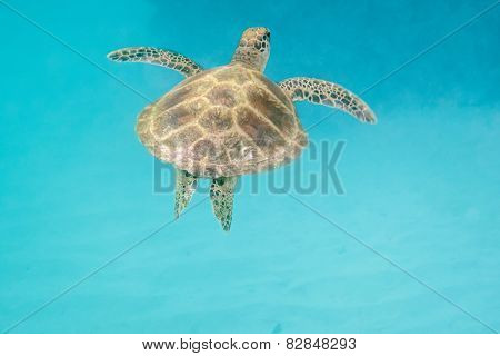 Sea turtle is swimming in the hot sea of Seychelles