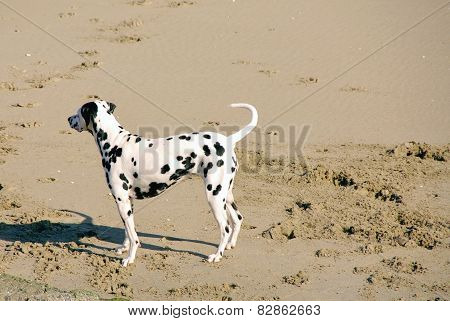A Dalmatian dog on the beach