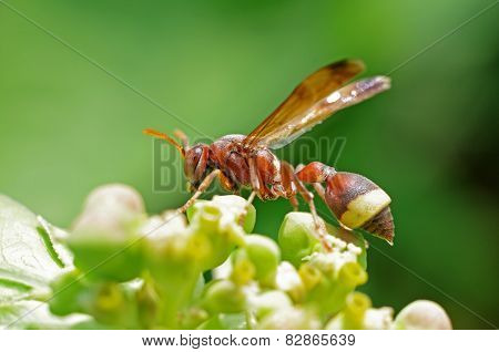 wasp on the flower bud