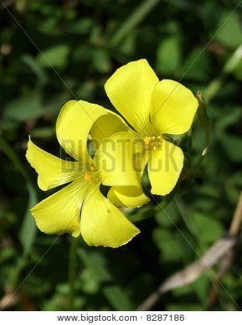 Bermuda Buttercup Flowers