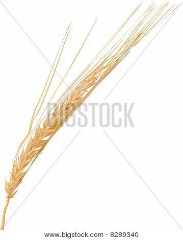 Vector wheat ear.