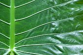 close up of tropical elephant ear leaf wild taro colocasia esculenta poster