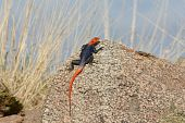 Common Agama also known as Red Headed Rock Agama basking in the sun. poster
