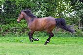 beautiful chestnut horse running on a meadow poster