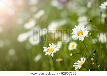 daisy on green background