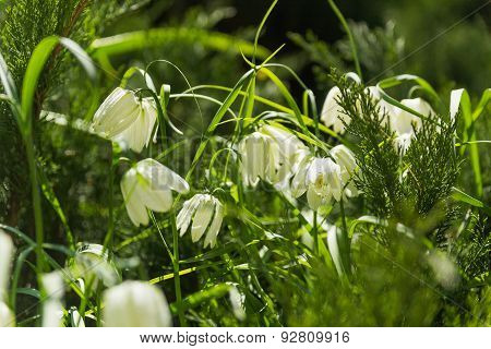Fritillaria (plant In The Lily Family). White Flowers On Green Natural Background.