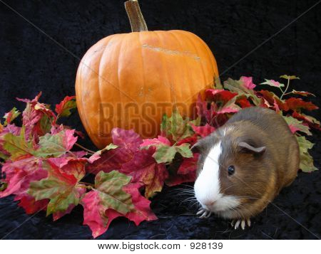 Autumn Cavy