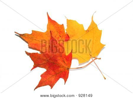 Isolated Maple Leaves