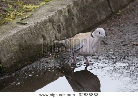 Collared Dove At The Curb
