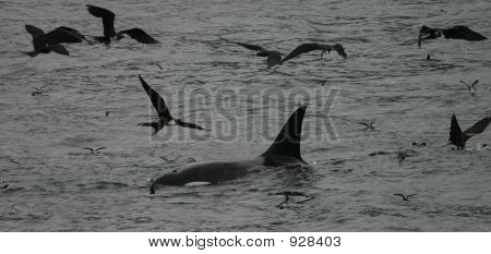 Orca Feeding With Birds