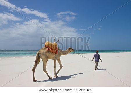 Camel Walking On Kenyan Beach