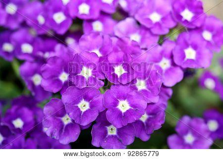 Verbena Purple