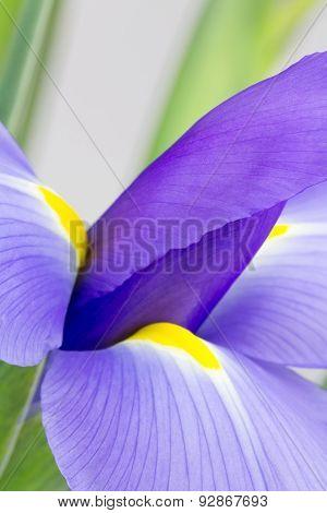 Abstract Purple Iris Photograph