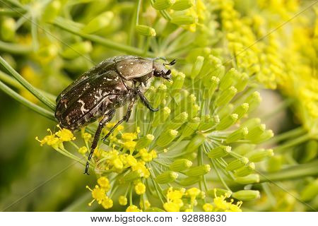 Rose chafer (cetonia aurata) is sitting on flowering dill