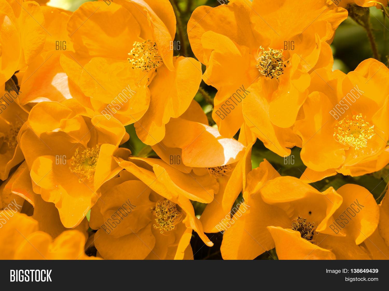 Field Orange Poppy Image Photo Free Trial Bigstock