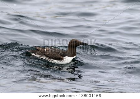 A Guillemot Farne Islands Nature Reserve England