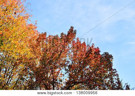 Colorful Autumn Tree With Golden Leaves