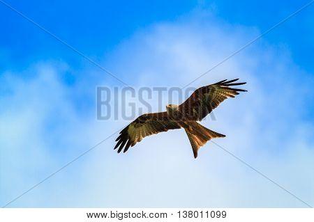 Red kite in flight on blue sky white clowds