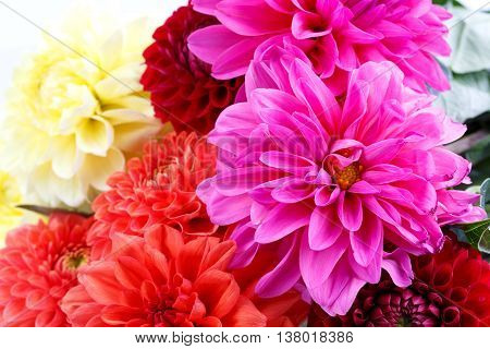 red bloom Chrysanthemum close up floral background