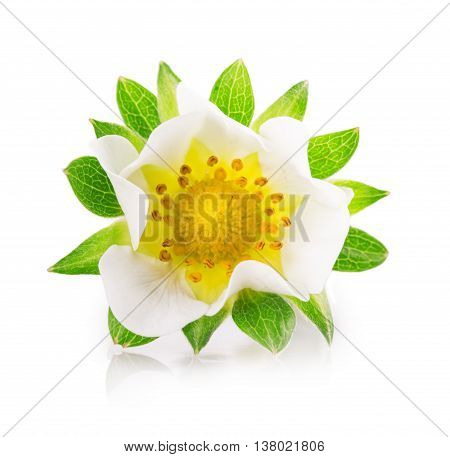 blossom strawberry flower Isolated on white background