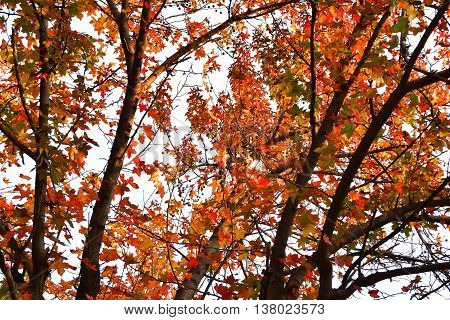 Colorful Autumn Tree With Orange Leaves