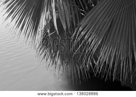 Background or texture: Black and white image of palm tree fronds dipping close to the water.