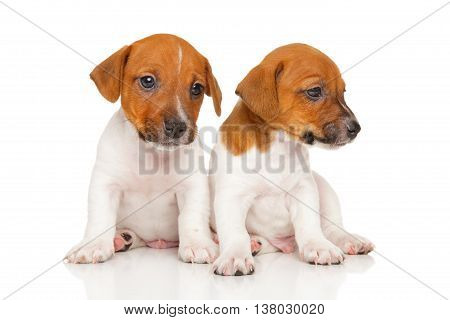 Jack Russell Terrier Puppies On White