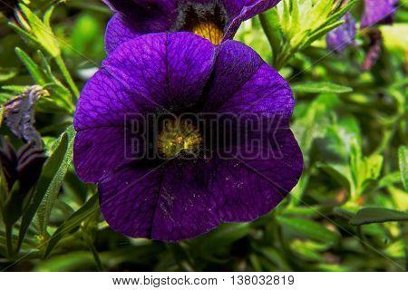 One flower of Surfinia Velvet Blue in the garden.Closeflathorizontal view