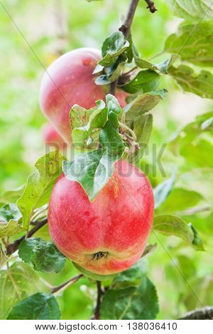 Two big red apple on the apple tree branch