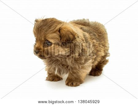 animal, baby puppy isolated on white background