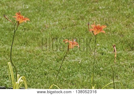 Orange lilium hybrid flowering plants on green grass park meadow background