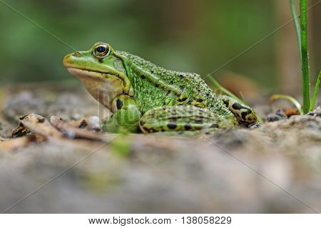 Pool frog portrait, amphibians, reptiles, cold-blooded lake shore