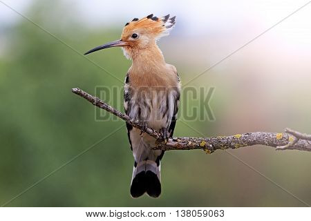 hoopoe sitting on a dry branch, colorful bird, feather, bangs, forelock, a fantastic bird with sunny hotspot