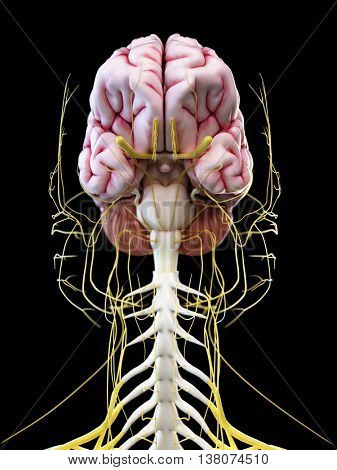 3d rendered illustration of the human brain and head nerves