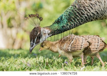 Beautiful Female Peacock And Her Child