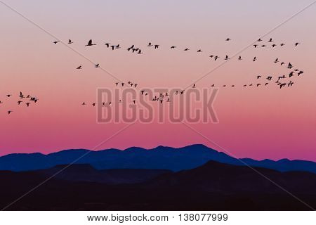 Snow geese arriving during sunrise in Bosque del Apache National Wildlife Refuge, New Mexico. poster