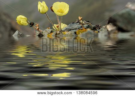 Beautiful floral natural background with delicate yellow flowers poppies growing on the rocks on the background of the mountains with reflection in water