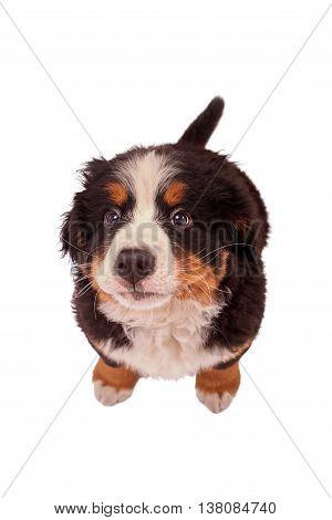 bernese mountain dog puppy isolated on white