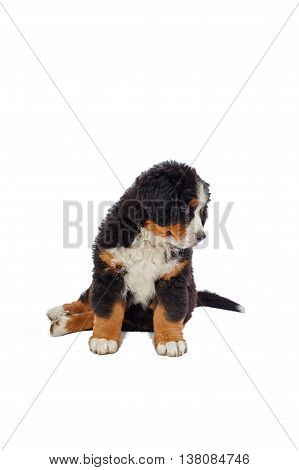bernese mountain dog  puppy isolated on white