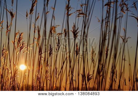 dry cane common reed at golden sunset
