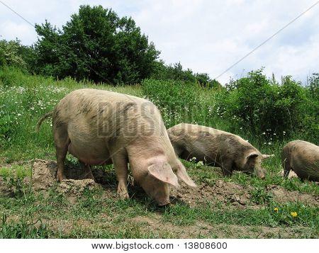 Three piggy in grassland