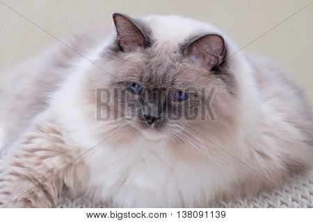 Cat close up. Ragdoll cat purebred blue mitted with blue eyes.