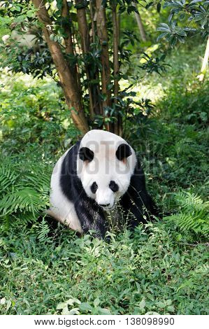 A big panda in a natural environment