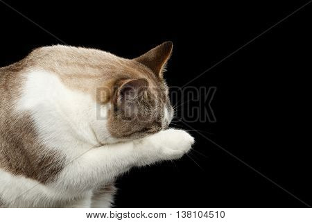 White Cat close his face of paw, Wash Snout, Isolated Black Background