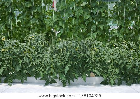 Hydroponic Cultivation of Paprika and Cucumber Hothouse. Greenhouse Agriculture
