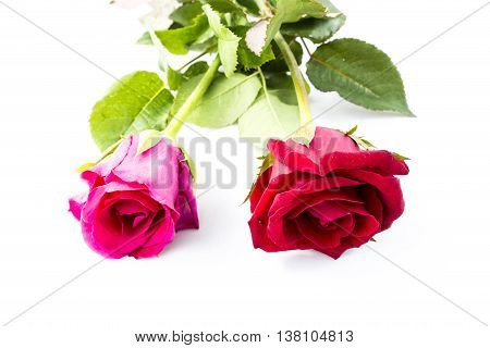 Red and Pink Rose isolated on White background Classic style