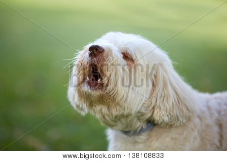 White Havanese Dog Barking And Howling