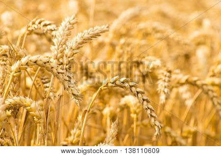 Wheat field. Ears of golden wheat close up